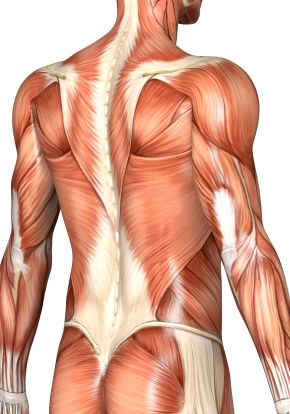 back_muscles